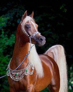 KA Damascus (Makhnificent KA {Makhsous x Star Bint Hafiza by Ibn Dahman} x Rahimah KA {RA Jahim x KA Sultan Raqwa by Raquin RA} 2008 flaxen liver chestnut SE stallion bred by Kehilian Arabians, Texas Egyptian Arabian Horses, Beautiful Arabian Horses, Most Beautiful Horses, Majestic Horse, All The Pretty Horses, Animals Beautiful, Arabian Stallions, Andalusian Horse, Friesian Horse