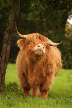 beautiful Scottish highland cow Blümchen und Co. Cute Baby Cow, Baby Cows, Cute Cows, Baby Farm Animals, Baby Elephants, Fluffy Cows, Fluffy Animals, Animals And Pets, Strange Animals