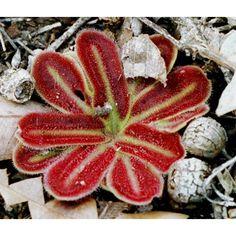 Drosera erythrorhiza aquamosa - Buscar con Google
