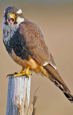 The Aplomado Falcon | Everything about falconry, hawks, eagles, owls etc.