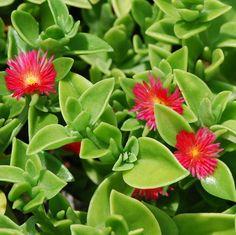 Rosinha-de-sol (Aptenia cordifolia)