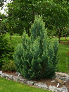 Chamaecyparis lawsoniana 'White Spot'  A conical shrub with flattened sprays of deep blue foliage. In summer cream coloured tips of new growth appear. Grows to approx 3M in the first 10 years.