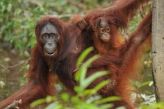 Orangutan Protection Foundation is a UK registered charity -  working on two fronts – to protect the orangutan and to preserve the rainforest.