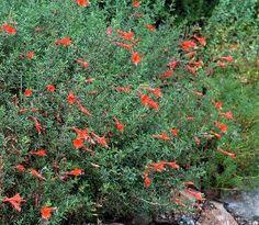 Buy+Zauschneria+californica+Glasnevin:+Delivery+by+PlantstoPlant.com