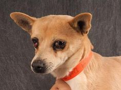 Petango.com – Meet Banjo, a 4 years 10 months Chihuahua, Short Coat available for adoption in COLORADO SPRINGS, CO. Call (719) 495-7679 to speak to an adoption representative at National Mill Dog Rescue.