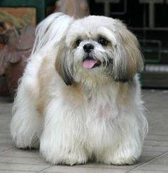 Shih Tzu Dog he / she  shall be mine