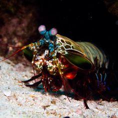 Mantas shrimp. We love the little critters just as much as the big stuff! #loves_underwater #littlecritters #tourtheocean #uwphotography #ourplanetisbeautiful #ourlonelyplanet #marinelife #scubafish_ #water_of_our_world #bg_underwater #underwatershots #underwaterlove #mantasshrimp