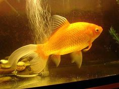 Comets are hardy type of goldfish and can be kept in outdoor aquariums and ponds. They are very active and competitive during feeding time than most other goldfish breeds.