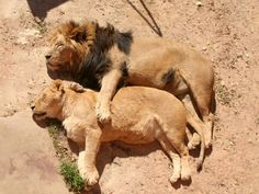 Photo and caption by Michael Krom (NATIONAL GEOGRAPHIC) A lion and lioness asleep in the midday sun appear to portray deep human emotion. The lion shows benign ownership while the lioness expresses deep contentment in her relationship with him. Animals And Pets, Funny Animals, Cute Animals, Wild Animals, Funny Cats, Nature Animals, Funny Humor, Baby Animals, Funny Stuff