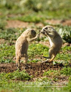 Fun Friday: Kids Will Be Kids! Black-tailed Prairie Dog pups playing at Wichita Mountains in southwest Oklahoma    Show Me Nature Photography