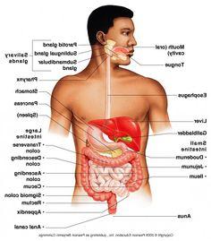 male body organs