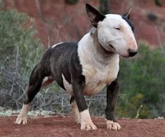 my favourite breed Best Dog Breeds, Best Dogs, Chien Bull Terrier, Animals And Pets, Cute Animals, Miniature Bull Terrier, Bully Dog, Animal Jokes, English Bull Terriers