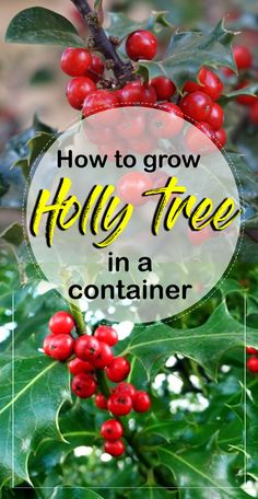 Holly tree Find out how to grow holly trees in a container and growing condition holly Plant, Holly Plant Care etc. Holly tree (llex ) is a member of the family of low-maintenance and evergreen… Container Gardening, Gardening Tips, Holly Shrub, Holly Plant, Holly Bush, Low Maintenance Garden Design, Holly Tree, Short Plants, Seed Germination