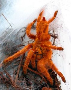 Mombasa Gold Starburst (Orange baboon) Tarantula - Pterinochilus murinus - This Old World tarantula is of the family Theraphosidae. It lives in Angola, Central, Eastern & Southern Africa & recorded found on Zanzibar. It is willing to inflict an extremely painful, but not serious bite, before showing its threat display, so it should not be held