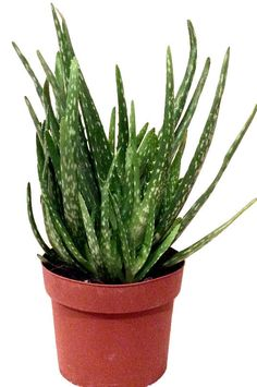 Aloe Vera Medicinal Plant Live Plants or 12cm Pot 30cm Tall Barbadensis Miller