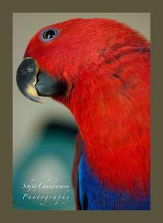 Eclectus Parrot  Basil