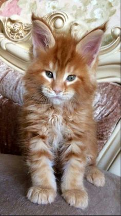 Latest Photographs siamese cats maine coon Thoughts Siamese kitties should be renowned for their luxurious, streamlined body, foamy applications in addition to special mar Pretty Cats, Beautiful Cats, Animals Beautiful, Cute Animals, I Love Cats, Crazy Cats, Cool Cats, Maine Coon Kittens, Siamese Cats