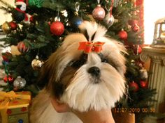 Cuties Shih Tzu from Long Island New York my Old home.... This is the perfect pet a true lap dog..  http://dogculture.net/puppies-for-sale/special-k-shih-tzu-620.htm