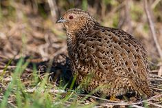 Brown Quail | Granite Island, South Australia