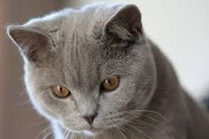 british shorthair cat - Google Search