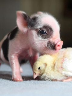 Piglet Compassion for Little Chick Friend