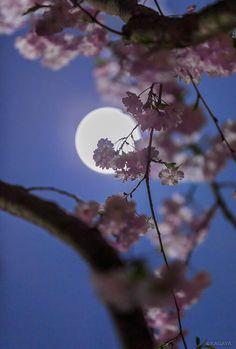 Moon and cherry trees Moonlight Photography, Moon Photography, Mystic Moon, Shoot The Moon, Moon Pictures, Good Night Moon, Beautiful Moon, Moon Lovers, Moon Art