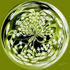 Amazing Circle - Queen Anne's Lace, Green.  Copyright Nancy Kirkpatrick Photography