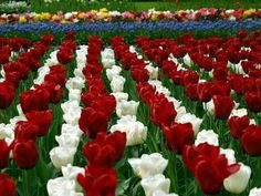 Tulipanes, blanco y rojo