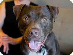 BUZZ - URGENT - Austin Animal Center in Austin, TX - ADOPT OR FOSTER - Adult Neutered Male Pit Bull Terrier Mix