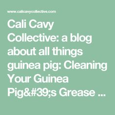 Cali Cavy Collective: a blog about all things guinea pig: Cleaning Your Guinea Pig's Grease Gland