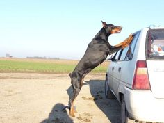 ...dont make me come in there!!!  #doberman #dog