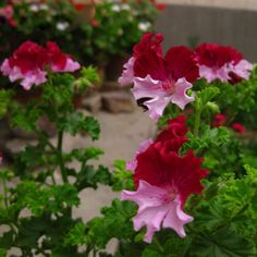 Hot Sale Rare Color Geranium Seeds Perennial Flower Seeds Pelargonium Graveolens Flowers for Rooms 30PCS