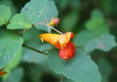Fresh Jewelweed Stems One Pound Poison Ivy Itch Relief Organic Natural