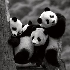Pandas.  Do  you think they're fighting over who gets the middle?