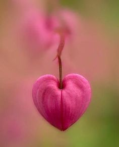 ....a bleeding heart flower.