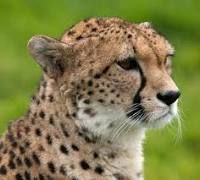 https://en.wikipedia.org/wiki/Cheetah