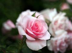 Only Lyon, la rosa perfecta - http://www.jardineriaon.com/only-lyon-la-rosa-perfecta.html