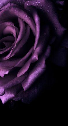 Purple Roses Wallpaper, Flower Phone Wallpaper, Dark Wallpaper, Cellphone Wallpaper, Nature Wallpaper, Beautiful Flowers Wallpapers, Pretty Wallpapers, Beautiful Roses, Purple Love