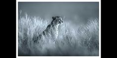 BW image of a camoflaged leopard. Fine art print by Dave Hamman ...