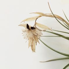 """""""Surprise post bloom beauty in the studio this morning. Looks like feathers. #tillandsia"""" Photo taken by @kalonstudios on Instagram (04/21/2014)"""