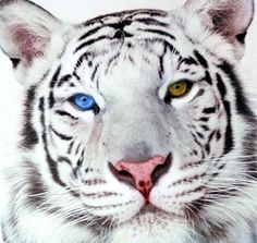 https://www.google.com/search?q=White Tiger With Two Different Colored Eyes