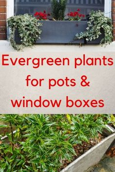 Evergreen plants for container gardens - easy care low maintenance and look good all year round! Evergreen plants for container gardens - easy care low maintenance and look good all year round! Clematis, The Middle, Grasses For Pots, Container Plants, Container Gardening, Window Box Plants, Window Boxes, Meme Design, Gardens