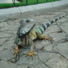 At the Iguanas park right in the middle from Guayaquil.  #ecuador #guayaquil #travel #southamerica #adventure #iguana