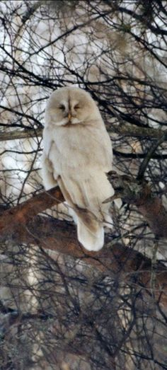 """""""Has anyone checked Wilfred Brimleys pulse lately? He may have come back as an Albino great gray owl."""""""