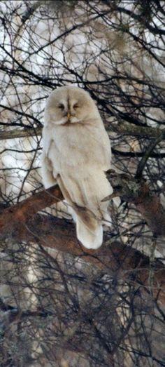 Birds of Prey - Leucistic great gray owl.