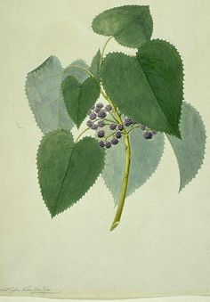 Sydney Parkinson - Botanical drawings