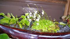 Utricularia....sandersonii? Can't remember.