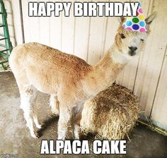 Happy Birthday to you Happy Birthday to you Happy Birthday dear Ollie Happy Birthday to you! Ollie is 1 year old today–what kind of birthday present do you get an alpaca? Maybe he'd like to go on a picnic for his birthday? Happy Birthday Jean, Happy Birthday Animals, Llama Birthday, Happy Birthday Funny, Animal Birthday, Happy Birthday Wishes, Birthday Sentiments, 10th Birthday, Birthday Greetings