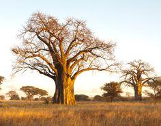 En muchos lugares se considera  al baobab como un árbol sagrado, situación que favorece su conservación pero en otros lugares están siendo amenazados por la expansión agrícola y la depredación del ser humano.