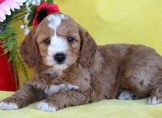 Bingo - Male Cockapoo for Sale Cute Baby Dogs, Cute Babies, Cockapoo Puppies For Sale, Mount Joy, Pennsylvania, Gender, Animals, Age, Animales